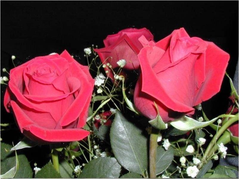 mes plus belle roses